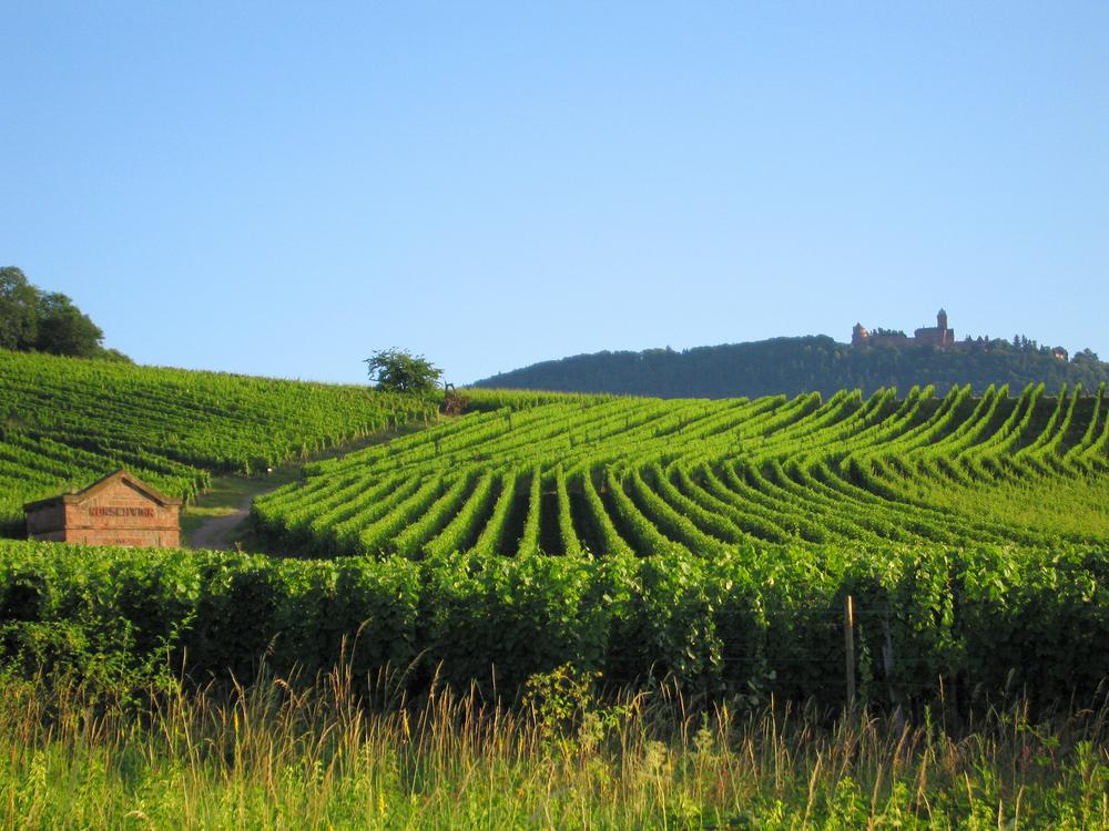 Strazburg Üzüm Bağları